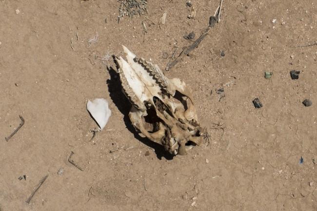 Affaiblis, de nombreux animaux meurent de maladies - Crédit: Adrienne Surprenant/Item